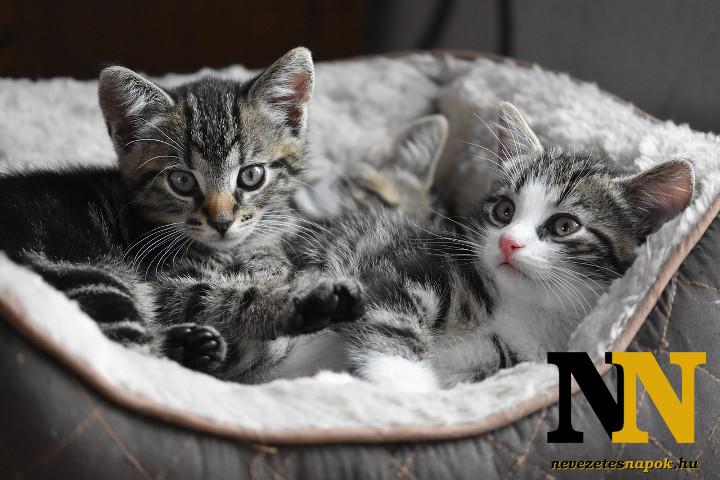 Házi állatok: cicák