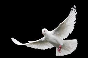Pünkösd jelképei közül az egyik: fehér galamb