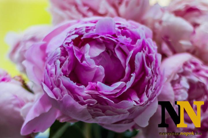 Pünkösd jelképe: pünkösdi rózsa