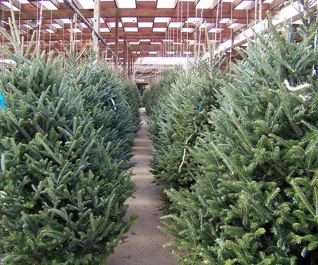 Karácsonyi készülődés - karácsonyfa vásárlás
